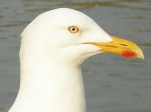 Herring-Gull-head-
