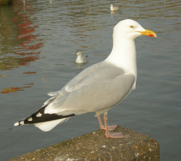 Herring-gull-(Bridlington-0