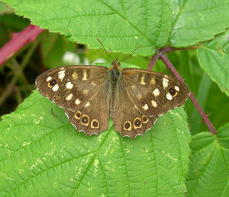 speckled-wood-drewton-210.jpg