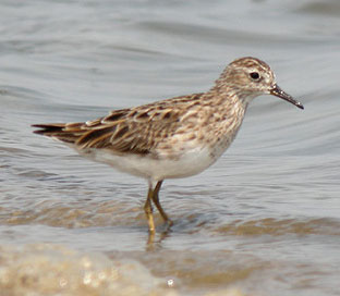 long-toed-stint.jpg