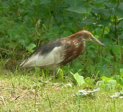 chinese-pond-heron.jpg