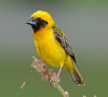 Asian Golden Weaver by Alex Vargas