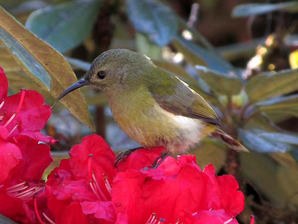 Female Green-tailed Sunbird