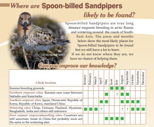 spoon-billed-sandpiper-fact
