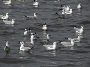 brown-headed-gulls