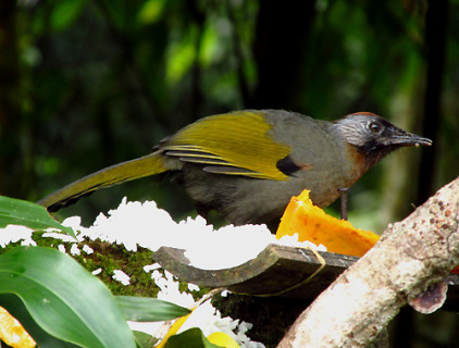 silver-eared-laughing