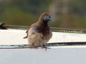 peaceful-dove3