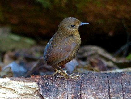 pygmy-wren-babbler1
