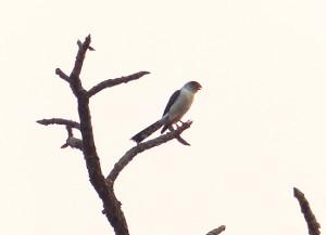 white-rumped-falcon