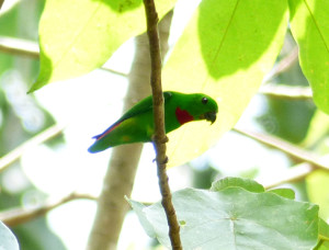 blue-crowned-hanging-parrot