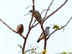purple-backed-starlings