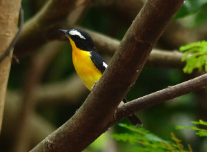 yellow-rumped-flycatcher2