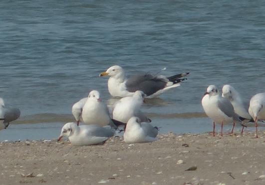 mystery-gull1