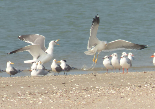 mystery-gull2
