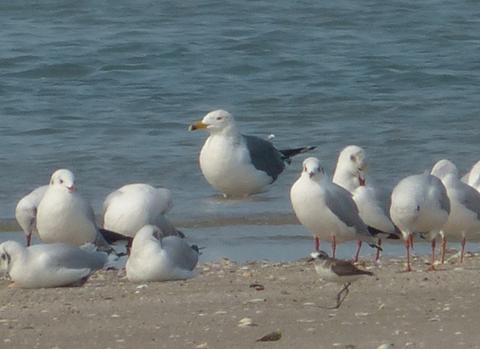 mystery-gull3