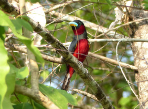 black-and-red-broadbill4