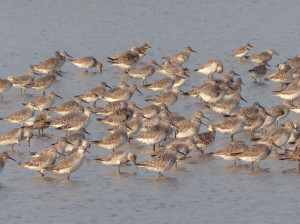 great-knot-flock
