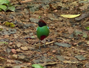 hooded-pitta2