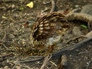 scaly-breasted-partridge3