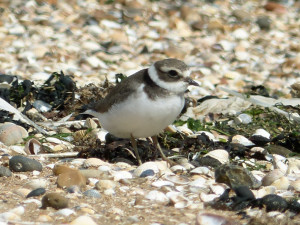 common-ringed-plover2