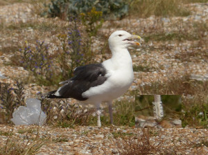 great-black-backed-gull3