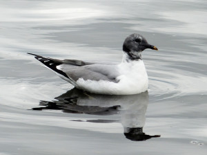 sabines-gull