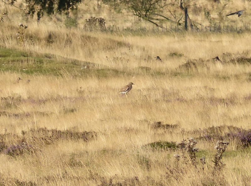 stone-curlew