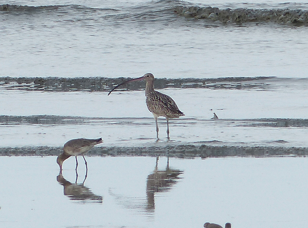 eastern-curlew