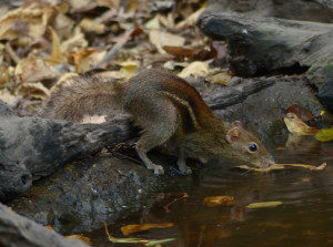 indochinese-ground-squirrel2