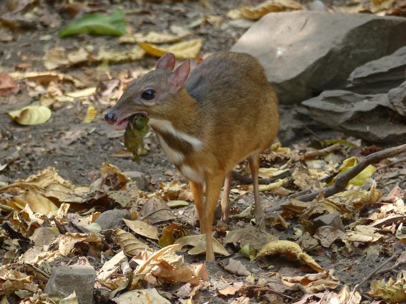 lesser-mouse-deer3