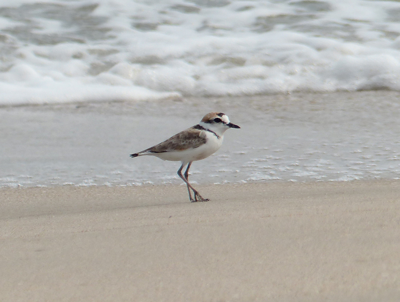 malaysian-plover4