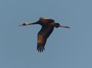 white-naped-crane2