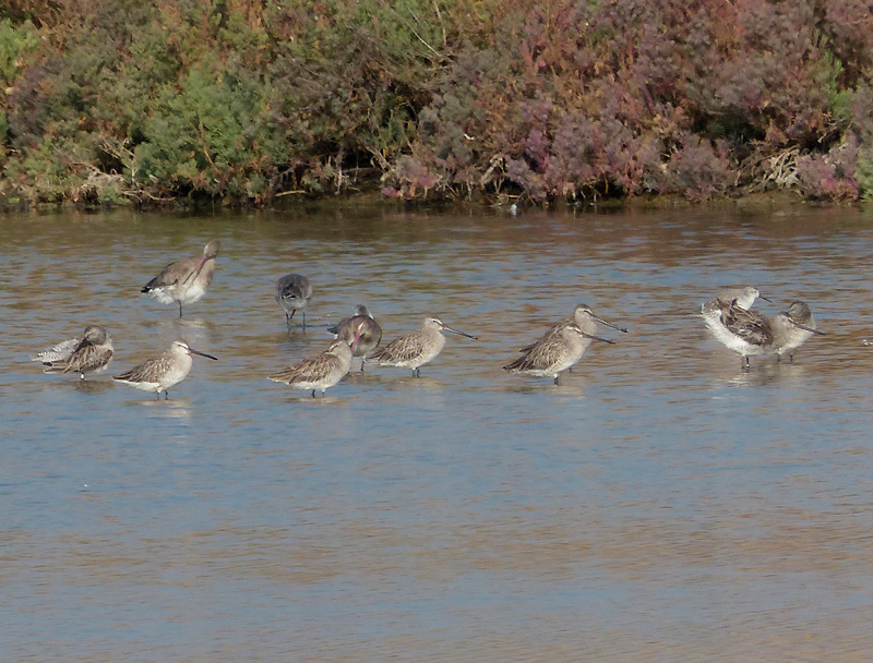 asian-dowitchers