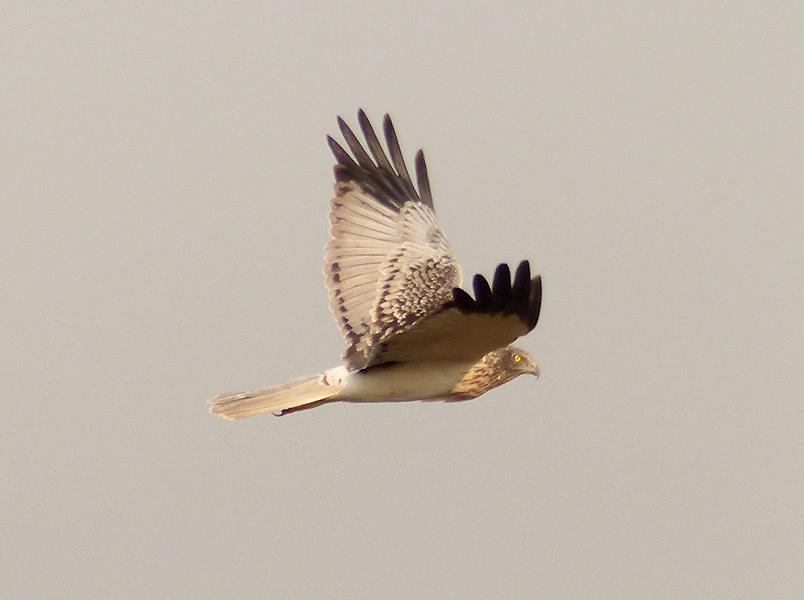eastern-marsh-harrier3