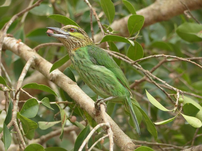 green-eared-barbet2