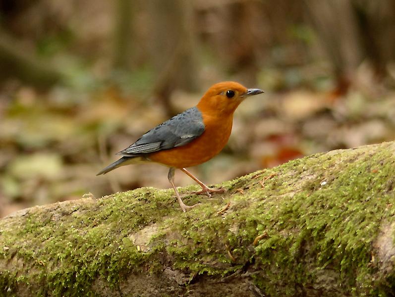 orange-headed-thrush6