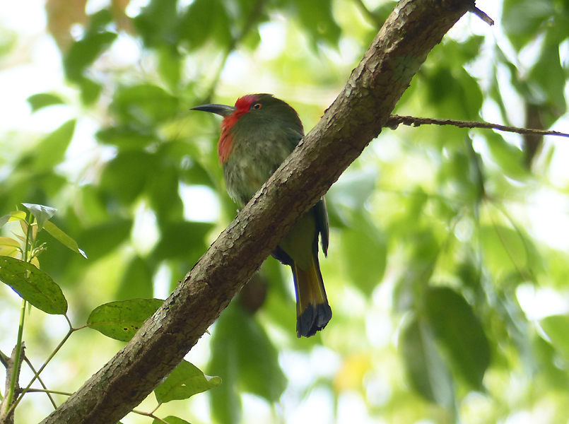 red-bearded-bee-eater5