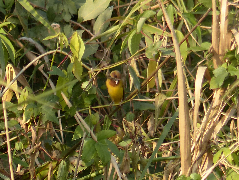 red-headed-bunting