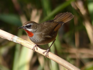 siberian-rubythroat6