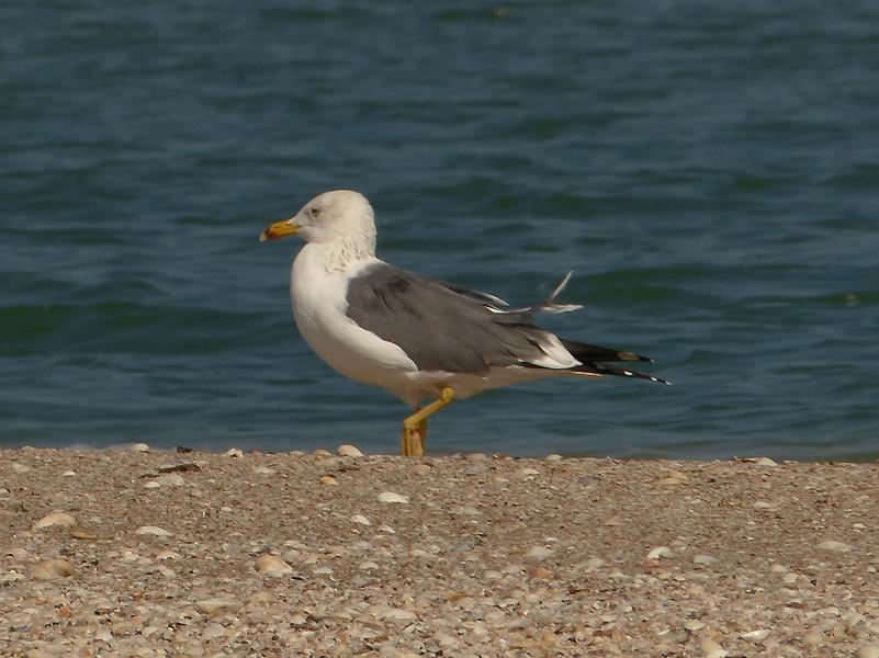 steppe-gull