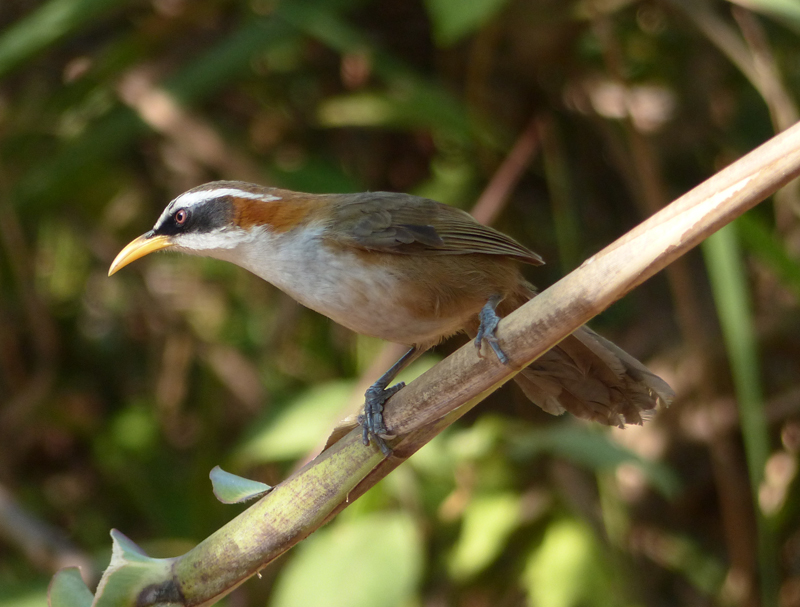 white-browed-scimitar2