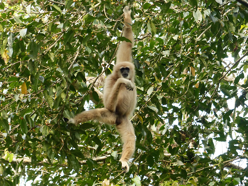 white-handed-gibbon2