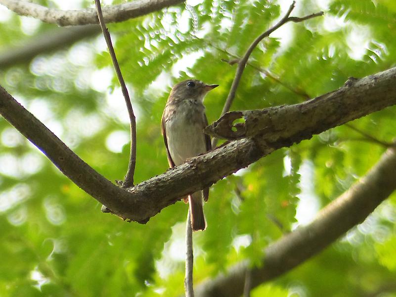 asian-brown-flycatcher4