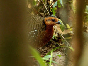 chestnut-headed-partridge