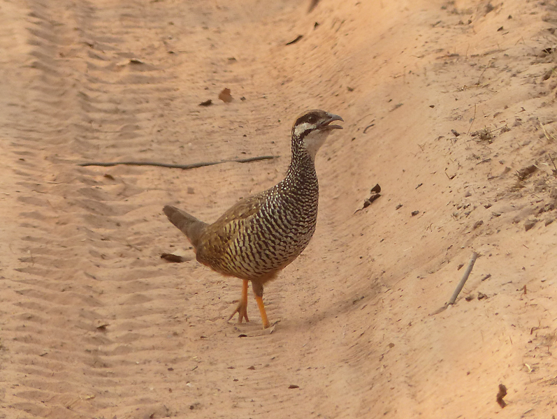 chinese-francolin