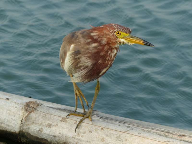 chinese-pond-heron5
