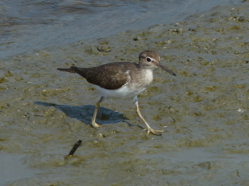 common-sandpiper4