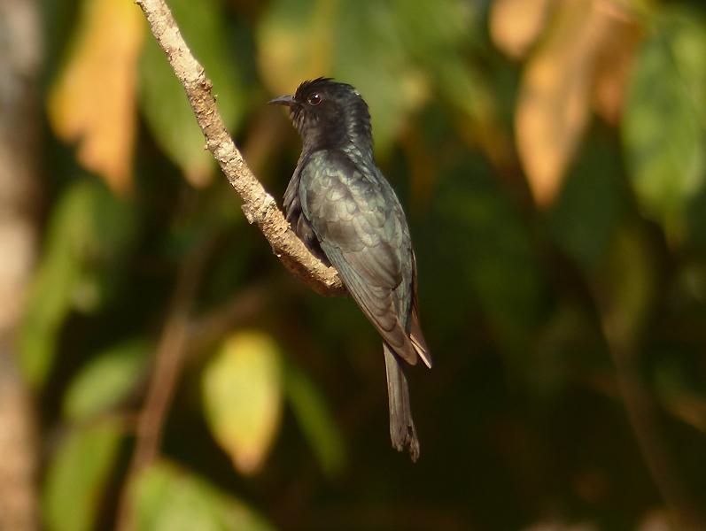 drongo-cuckoo2