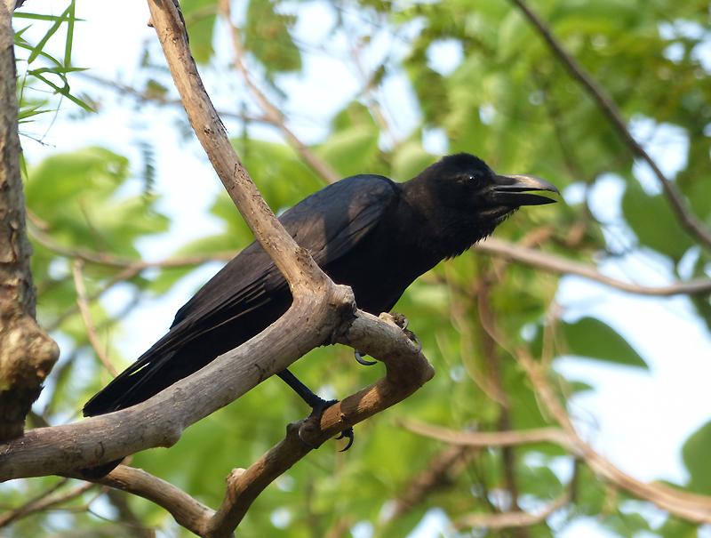eastern-jungle-crow