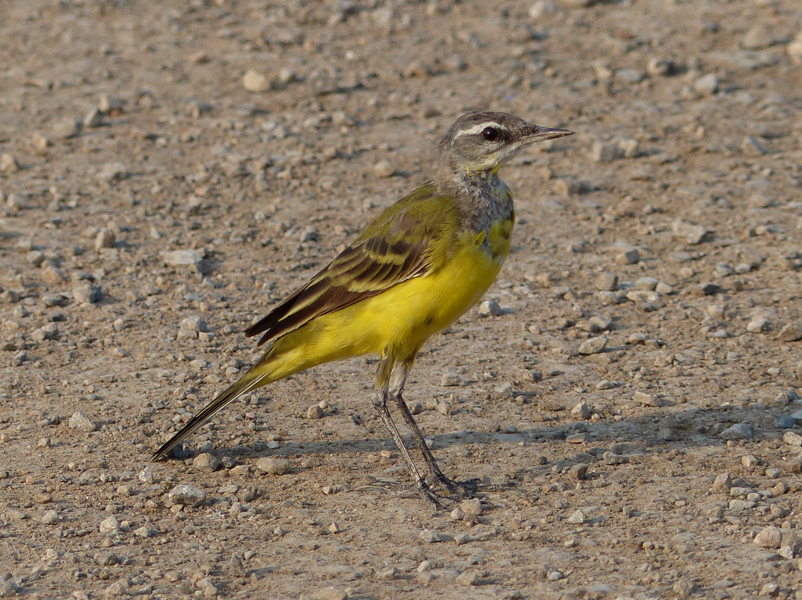 eastern-yellow-wagtail